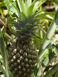 Victoria Pineapple  Reunion Island  French Overseas Territory
