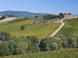 Vineyards and Olive Groves  Montefalco  Italy