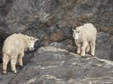 Rocky Mountain Goats  Prince William Sounds  Alaska  USA