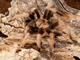 New River Rust Rump Tarantula  Aphonopelma Sp