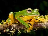 Giant Gliding Treefrog  Polypedates Kio  Native to Vietnam