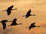 Sandhill Cranes (Grus Canadensis) Flying at Dawn  Platte River  Nebraska  USA