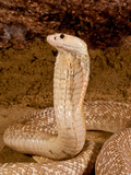 Formosan Cobra  Naja Naja Formosa  Native to Ceylon