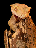 Crested Gecko  Rhacodactylus Ciliatus  Native to New Caledonia