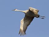 Sandhill Crane (Grus Canadensis)  Platte River  Nebraska  USA