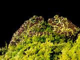 Vietnamese Mossy Frog  Theloderma Corticale  Native to Vietnam