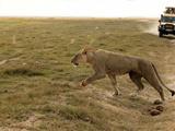 Lion  Amboseli  Kenya