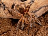 Copper Pink Burst Tarantula  Paraphysa Scrofa