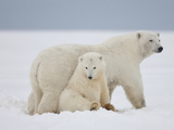 Polar Bears  Beaufort Sea  Alaska  USA