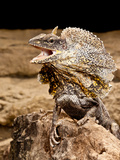 Frilled Lizard  Chalamydosaurus Kingii  Native to New Guinea