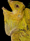 Malaysian Crested Dragon Lizard  Goniocephalus Chameleontinus  Native to Indonesia