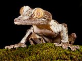 Giant Leaf-Tailed Gecko  Uroplatus Fimbriatus  Native to Madagascar