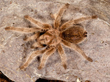 Northern Gold Tarantula  Aphonopelma Sp