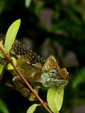 High-Casque Chameleon  Trioceros Hoehneli  Native to Kenya and Uganda