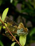 High-Casque Chameleon  Trioceros Hoehneli  Native to Kenya and Uganda