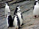 Waddle of Chinstrap Penguins (Pygoscelis Antarctica)  Gibbs Island (South Shetland)  Antarctica