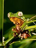 Razor Backed Monkey Frog  Phyllomedusa Hypocondryialis Azurea  Native to Paraguay