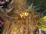 Close Up of a Clown Fish in an Anemone  Nadi  Fiji