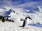 Gentoo Penguin (Pygoscelis Papua) Waddles Toward the Arctic Sea Near Paradise Harbor  Antarctica