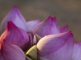 Lotus Flower Bud  Thailand
