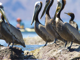 Brown Pelicans and Double-Crested Cormorant  Punta Baja  Isla Carmen  Baja  Sea of Cortez  Mexico