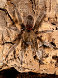 Chilean Beautiful Tarantula  Euathlus Truculentus