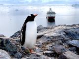 A Gentoo Penguin (Pygoscelis Papua) at Neko Harbor  Antarctica