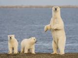 Polar Bear Cubs  Arctic National Wildlife Refuge  Alaska  USA