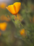 Golden California Poppies  Santa Cruz Coast  California  USA