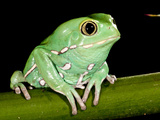 Painted Monkey Frog Phyllomedunited States of America Savaugii Native to Paraguay
