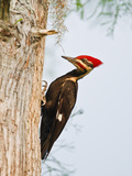 Pileated Woodpecker  Caddo Lake  Texas  USA