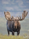 Bull Moose  Denali National Park  Alaska  USA