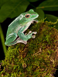 Giant Gliding Treefrog  Polypedates Sp  Native to Vietnam