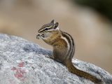 Chipmunk  Rocky Mountain National Park  Colorado  USA