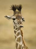 Masai Giraffe  Masai Mara Game Reserve  Kenya