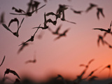 Mexican Free-Tailed Bats Emerging from Frio Bat Cave  Concan  Texas  USA