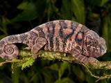 Rainbow Panther Chameleon  Fucifer Pardalis  Native to Madagascar