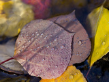 Quaking Aspen Leaves  South Ponil Creek  Baldy Mountain  Rocky Mountains  New Mexico  USA