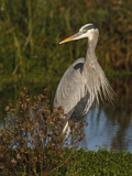 Great Blue Heron Wading  Texas  USA