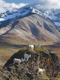 Dall Sheep Rams  Denali National Park  Alaska  USA