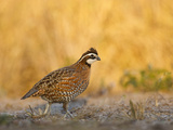 Northern Bobwhite  Texas  USA