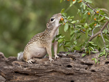 Mexican Ground Squirrel  Texas  USA