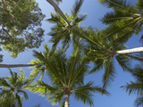 Palm Trees  Palm Cove  Cairns  North Queensland  Australia