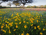 Roadside Wildflowers  Texas  USA
