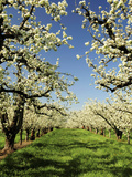 Peach Blossoms  Hood River  Oregon  USA