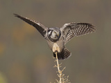 Northern Hawk Owl  Arctic National Wildlife Refuge  Alaska  USA