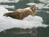 Harbor Seal  Prince William Sound  Alaska  USA