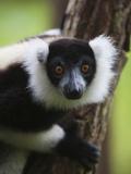 Lemur  Perinet Reserve  Toamasina  Madagascar