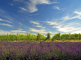 Lavender Field and Vineyard  Walla Walla  Washington  USA