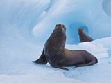 Stellar Sea Lions  Prince William Sound  Alaska  USA